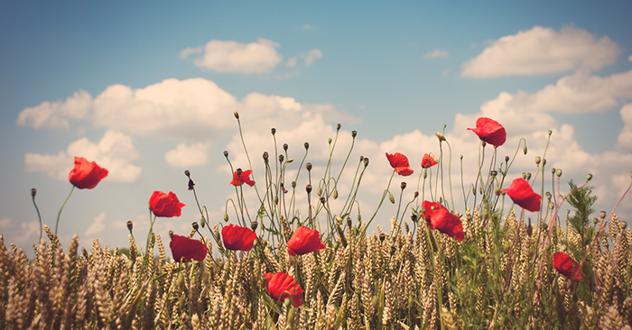 Veterans Day, Bugle Calls, and Poppies - Finale